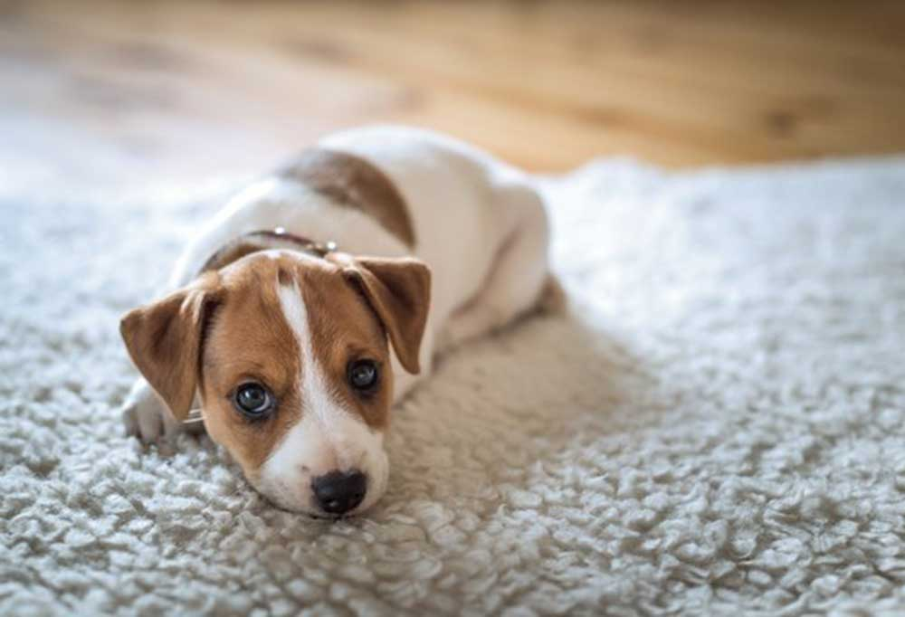 Jack Russell Terrier puppy laying on a white rug