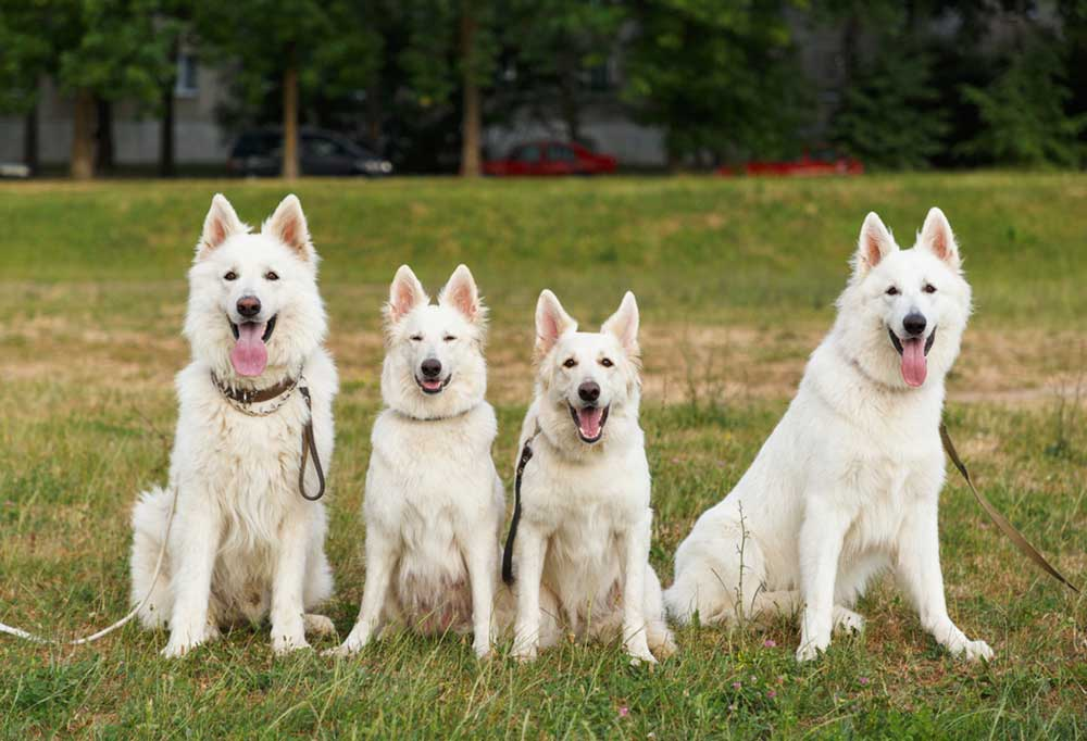 4 White dogs sitting in a grass field