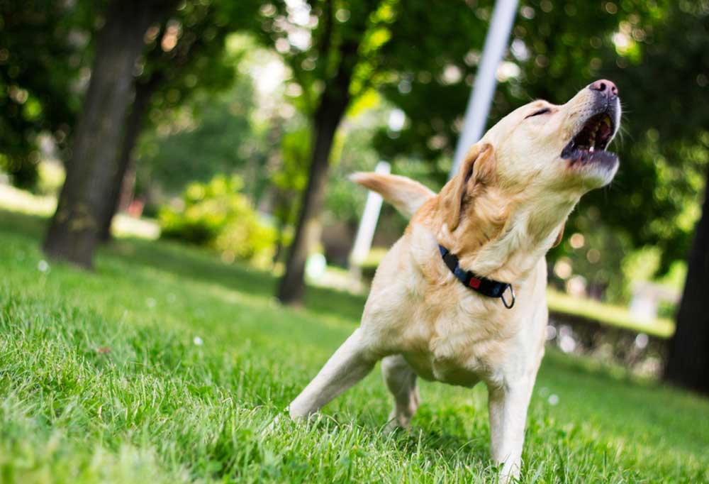 Yellow Lab outdoors in grass covered yard, barking.