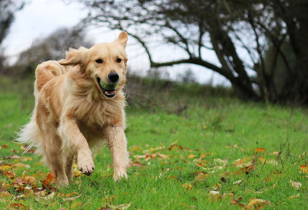 Golden Retriever with ball in its mouth running down a grass hill