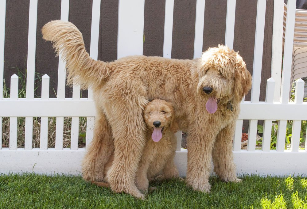 Goldendoodle adult standing next to picket fence  with Goldendoodle puppy standing underneath its belly.