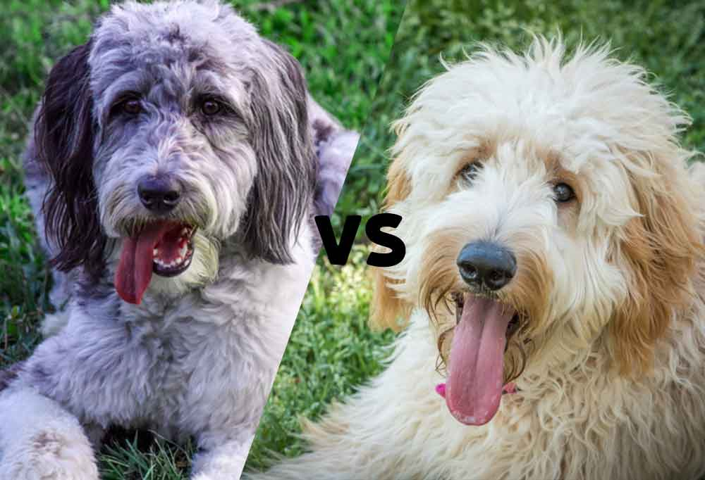 """Photos of an Aussiedoodle and Goldendoodle side by side with the letters VS in between as to say """"Aussiedoodle vs. Goldendoodle"""""""