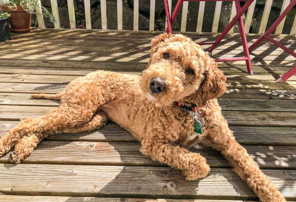 Australian Labradoodle laying on a wooden deck