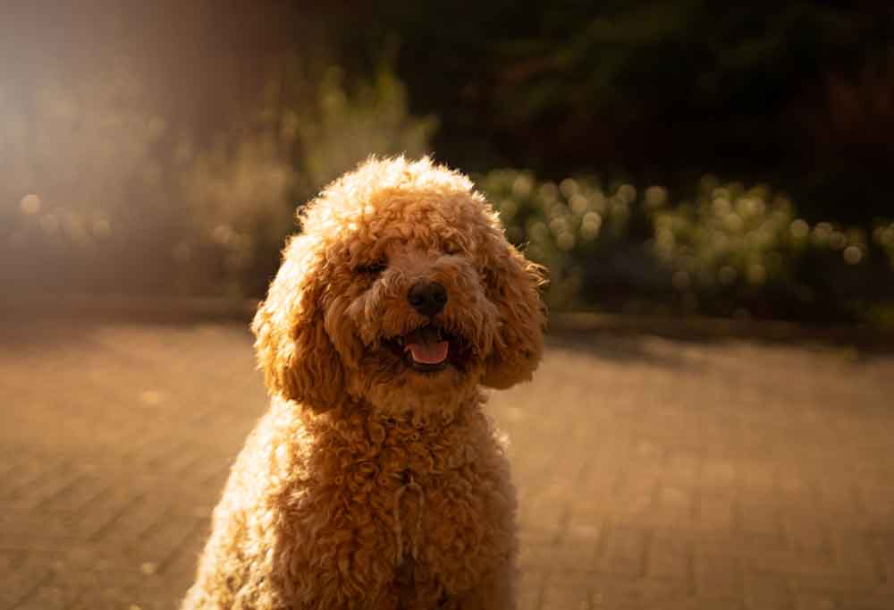 Portrait of an Australian Labradoodle outdoors on a patio