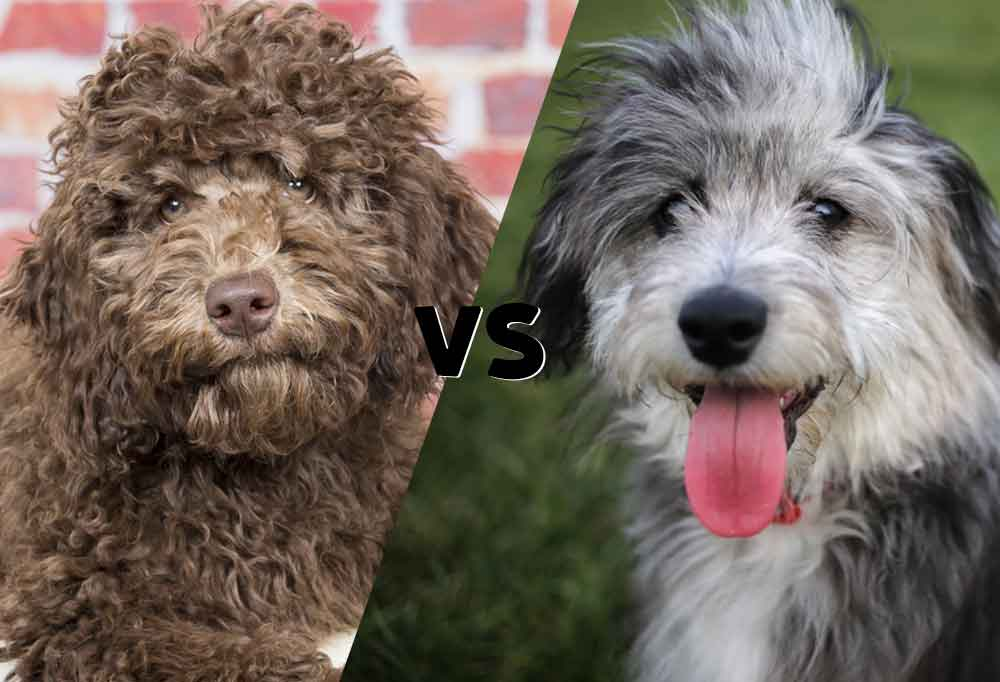 side by side photos of an Australian Labradoodle and an Aussiedoodle cut on the diagonal in the middle with versus in between them.