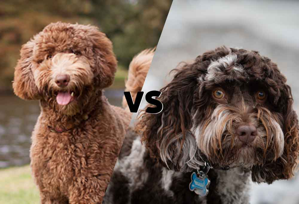 """Side by side photos cut on the diagonal of an Australian Labradoodle and Labradoodle with VS in between as to say """" Australian Labradoodle Verus Labradoodle"""""""