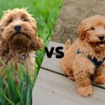 """Cockapoo and a Mini Goldendoodle side by side with the letters VS in between as to say """"Cockapoo vs. Mini Goldendoodle"""""""