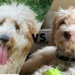 """Doubledoodle and a Goldendoodle with the letters VS in between as to say """" Double Doodle vs. Goldendoodle"""""""