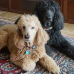 one tan, one black, poodles laying on a rug together