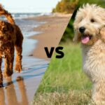 Australian Labradoodle and Goldendoodle with the letters VS in between to suggest Australian Labradoodle versus Goldendoodle