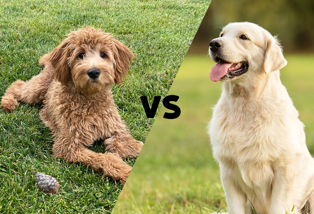 Goldendoodle and Golden Retriever with VS in between them for versus.