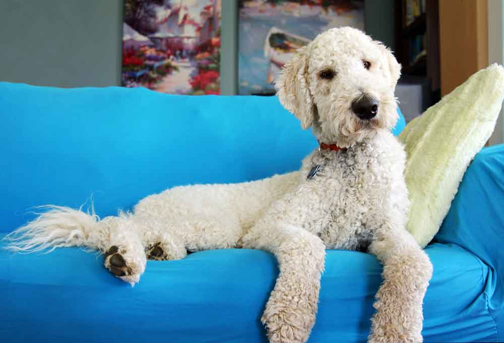 Goldendoodle laying on a blue couch