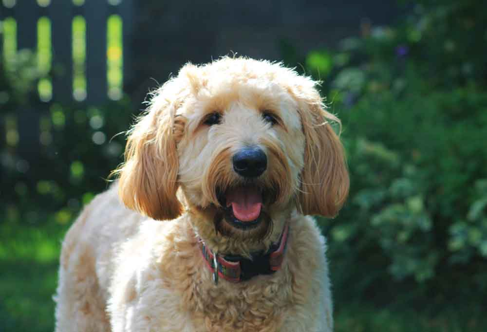 Portrait of a Goldendoodle outdoors in a garden
