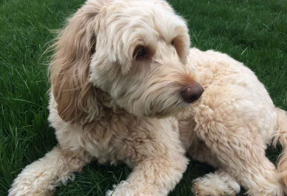 Goldendoodle laying outdoors in grass