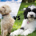 """Side by side photos of a Goldendoodle and a Sheepadoodle joined diagonally in the middle with the letters VS in the center as to say """"Goldendoodle versus Sheepadoodle"""""""