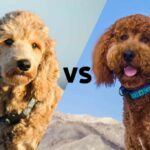 """A Goldendoodle and a Labradoodle with the letters VS in between as to say """"Goldendoodle versus Labradoodle"""""""