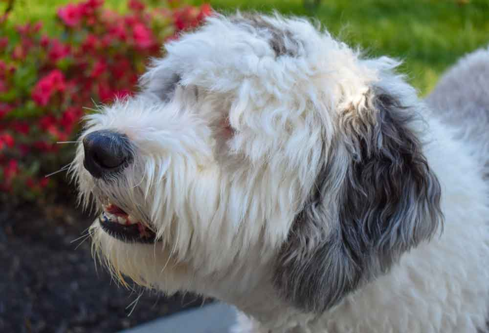 Close up of a Sheepadoodle outdoors in a garden