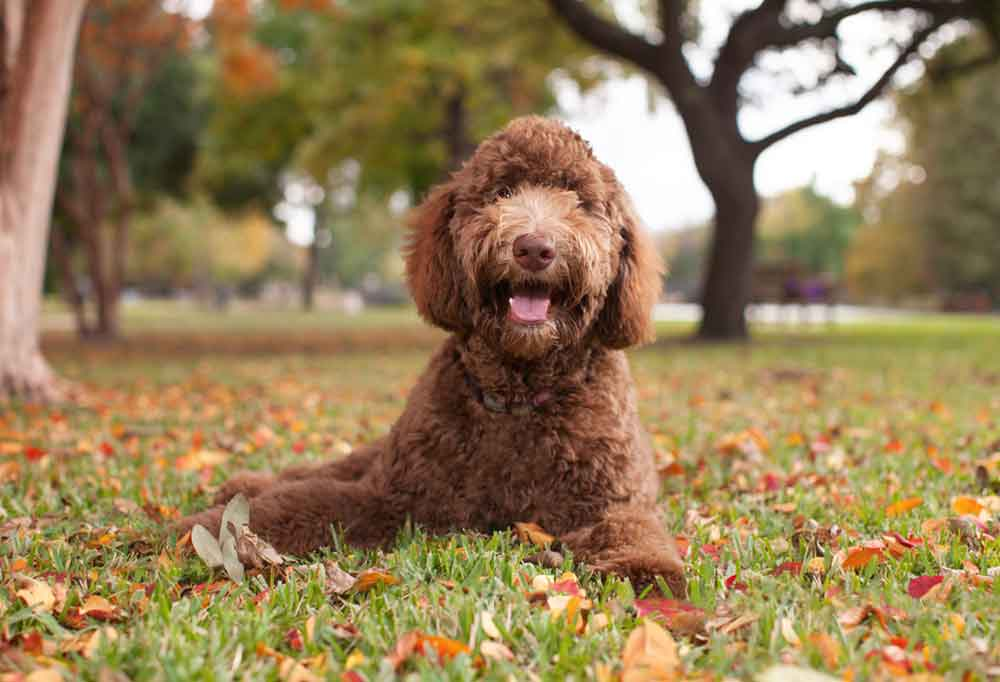 Labradoodle laying outdoors in leaf covered grass under a tree