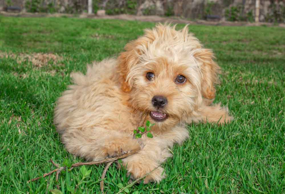 Mini Goldendoodle laying outdoors in the grass chewing a stick