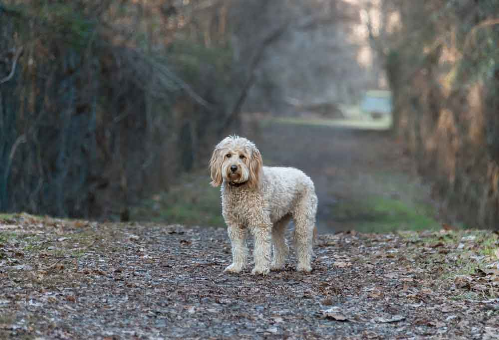 Mini Goldendoodle standing on a dirt road lined with trees and vines