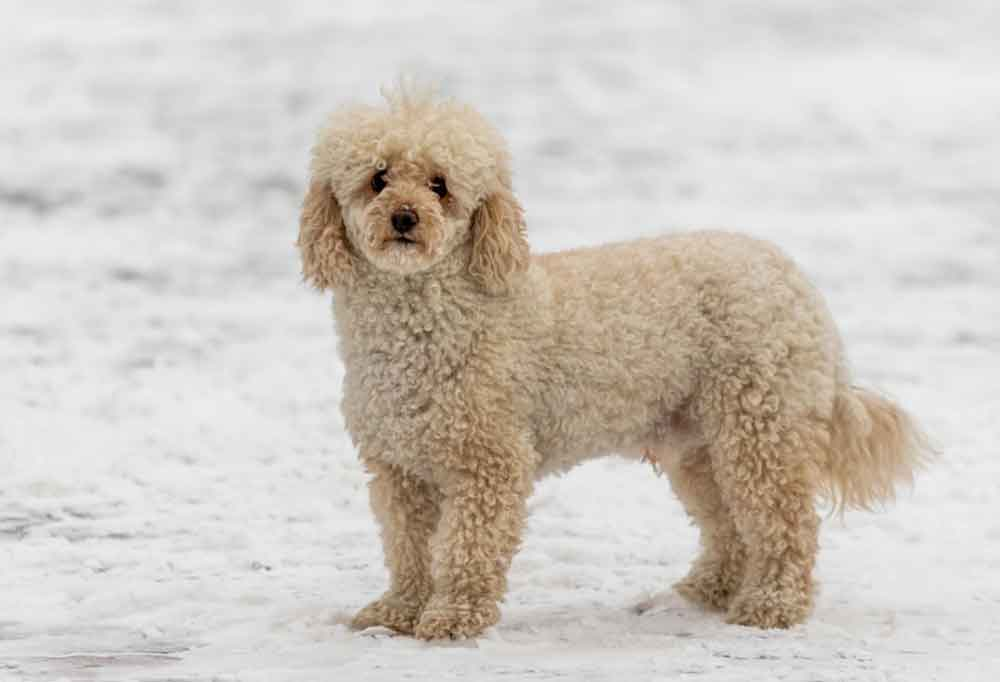 Mini Goldendoodle standing outdoors in snow