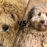 """Side by side photos cut on the diagonal Mini Goldendoodle and a Goldendoodle with VS in between as to say """" Goldendoodle vs. Mini Goldendoodle"""""""