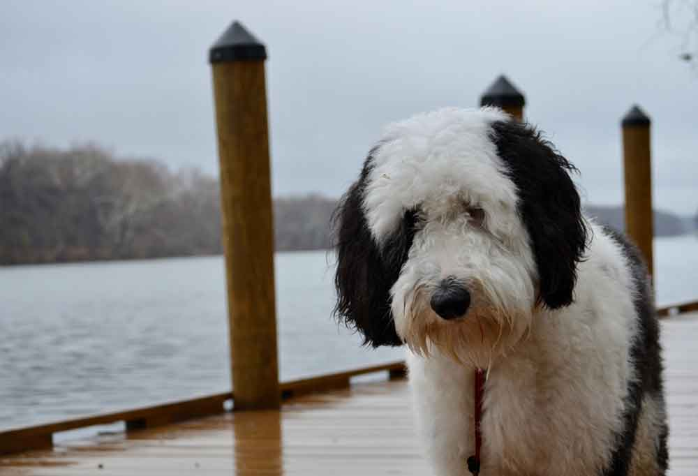 Sheepadoodle standing on a dock over water