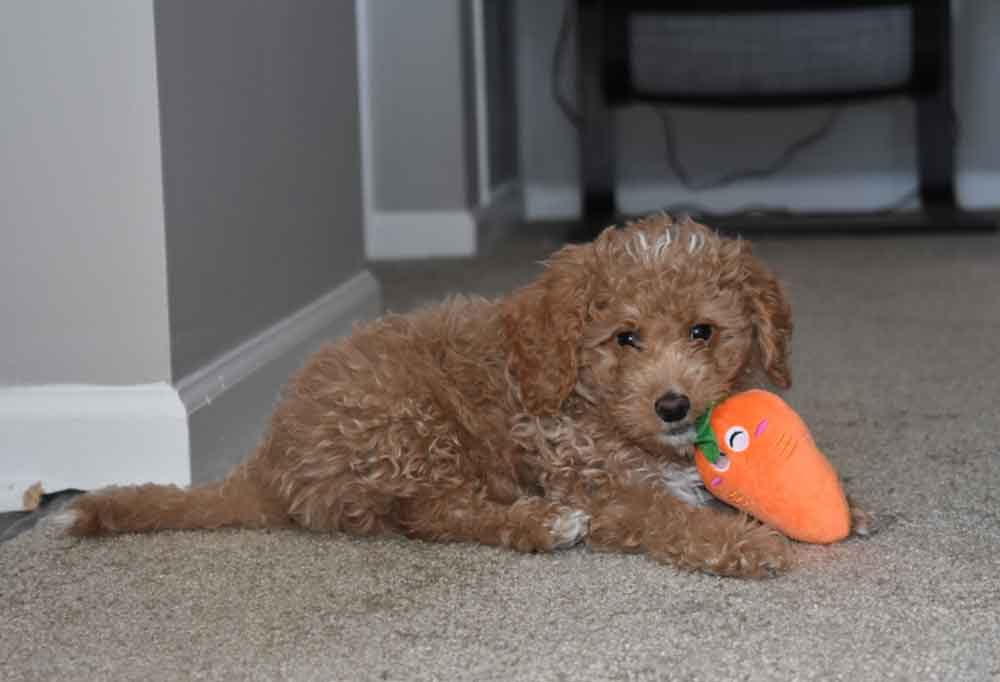 Toy Goldendoodle laying on carpet and chewing a toy carrot