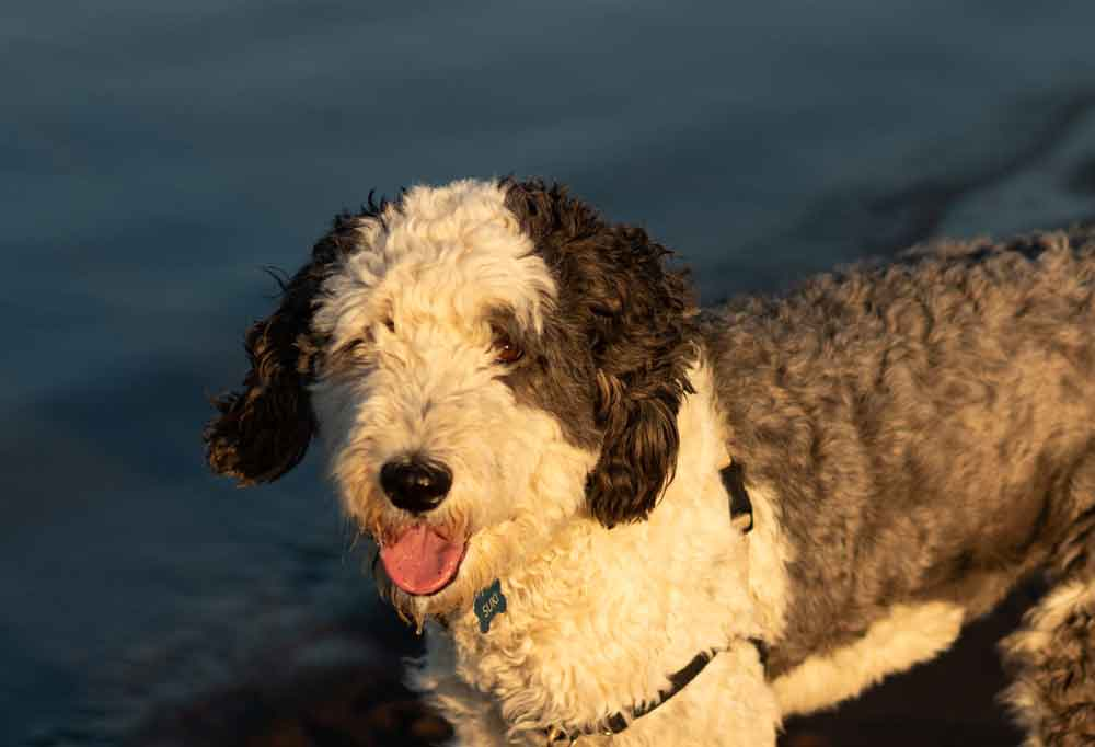 Sheepadoodle standing near a body of water