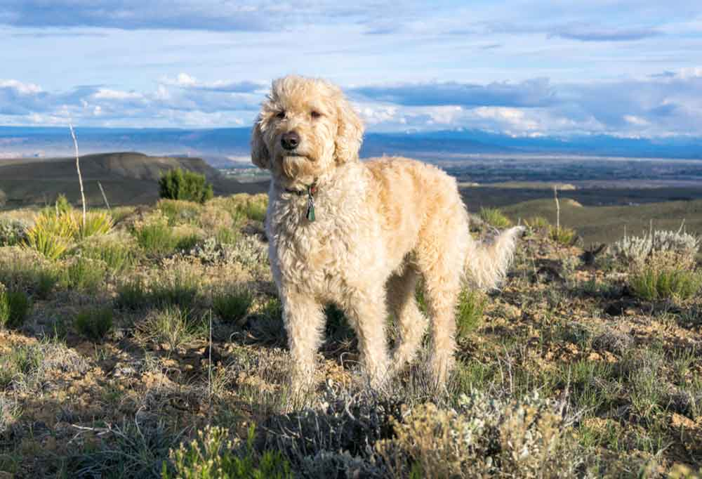 Goldendoodle Standing on a hill top with mountain ranges in the background