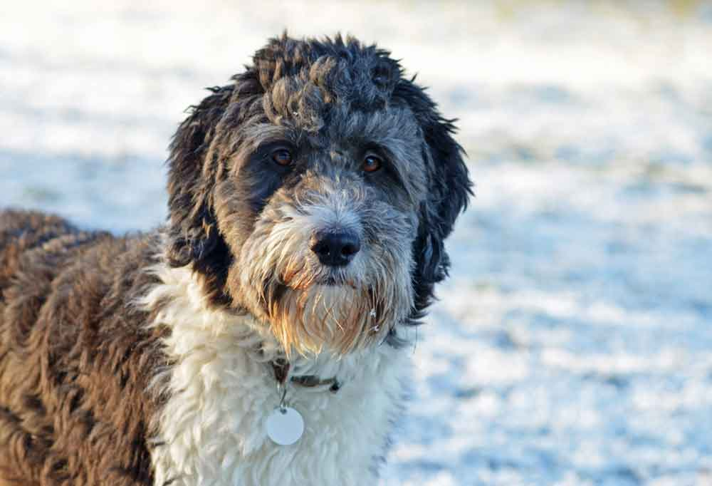 Close up of an Aussiedoodle outdoors in the snow.