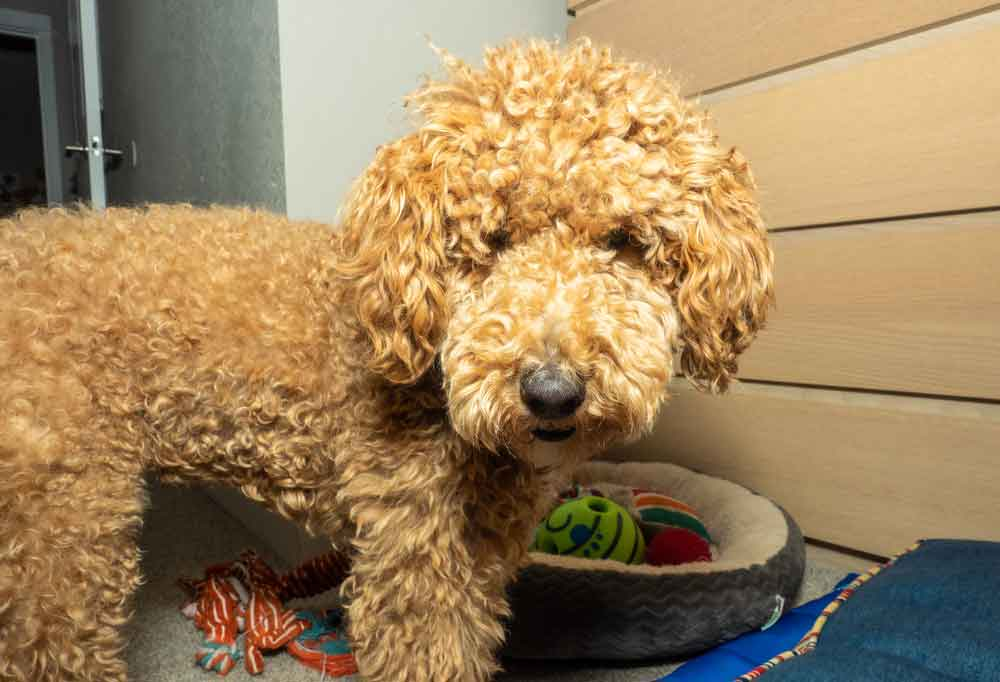 Close up of an Australian Labradoodles in a home next to a dog bed and toys