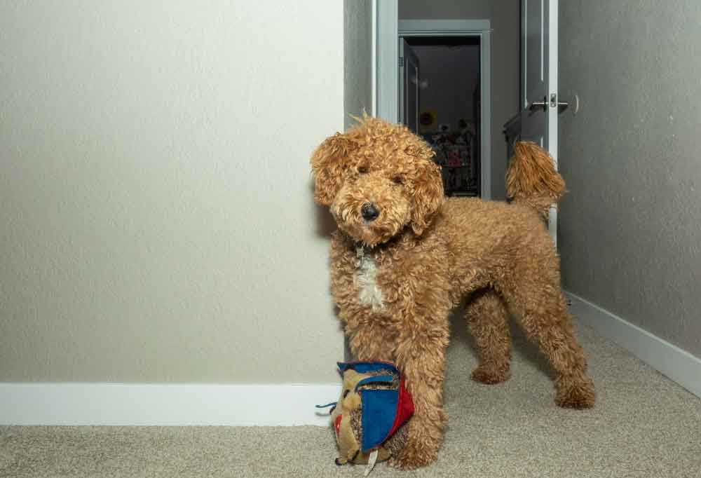 Australian Labradoodle standing in a hallway with a toy at its feet