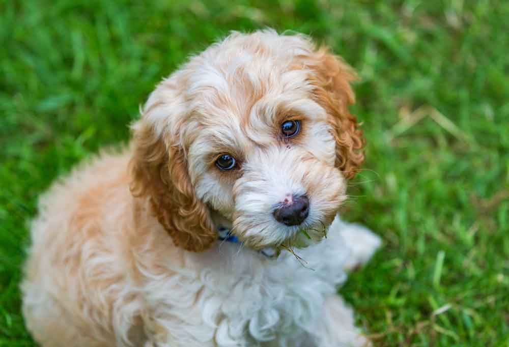 Cockapoo laying in grass outdoors