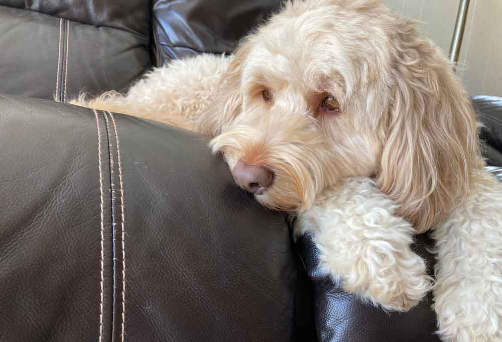 Goldendoodle laying on a brown leather couch