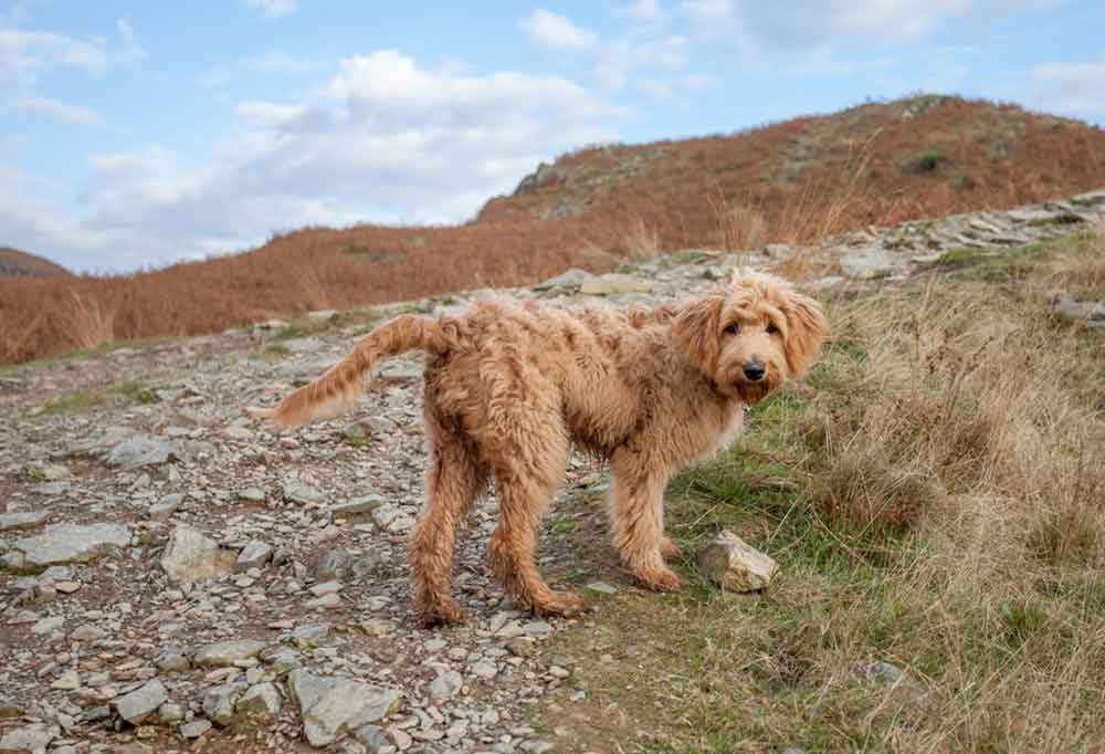 a Goldendoodle walking up a rocky path on a hill