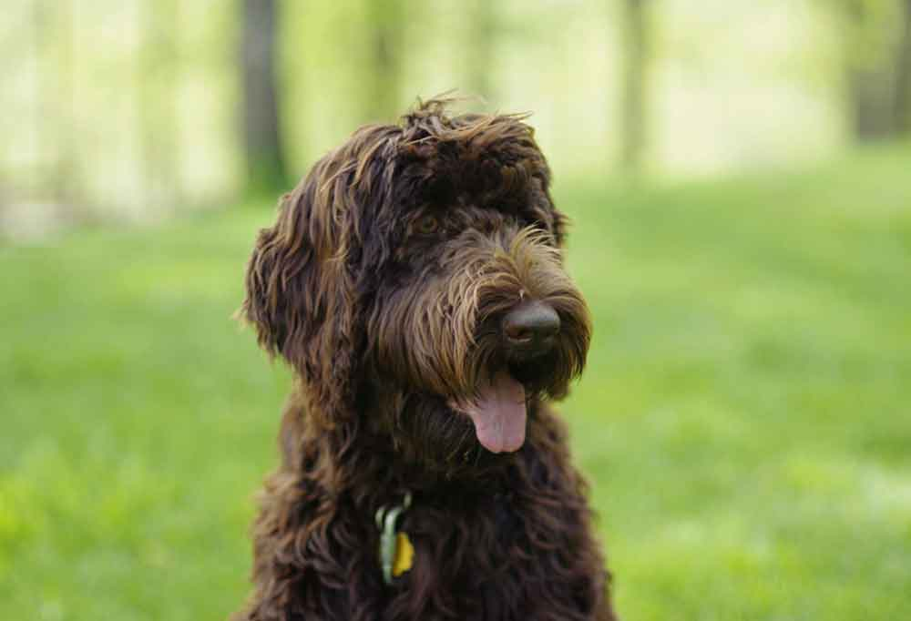 Portrait of a Labradoodle outdoors