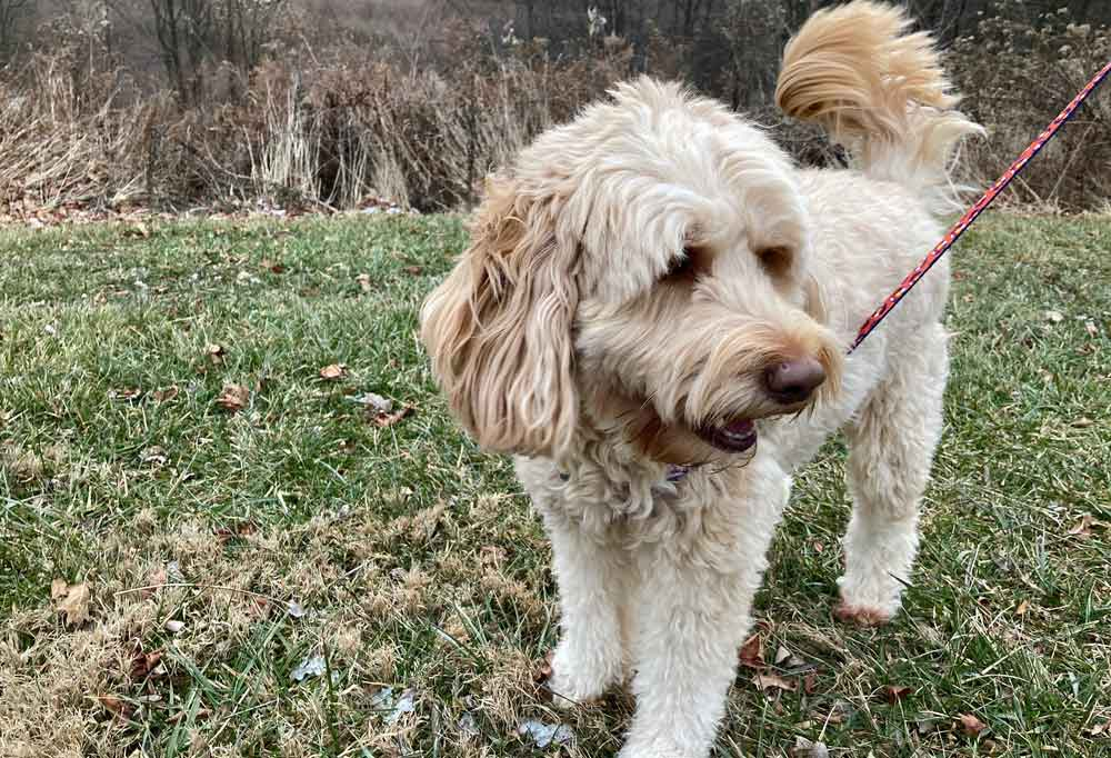 Mini Goldendoodle outdoors in grass on a leash