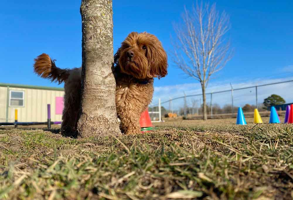 Mini Goldendoodle outdoors standing behind a tree
