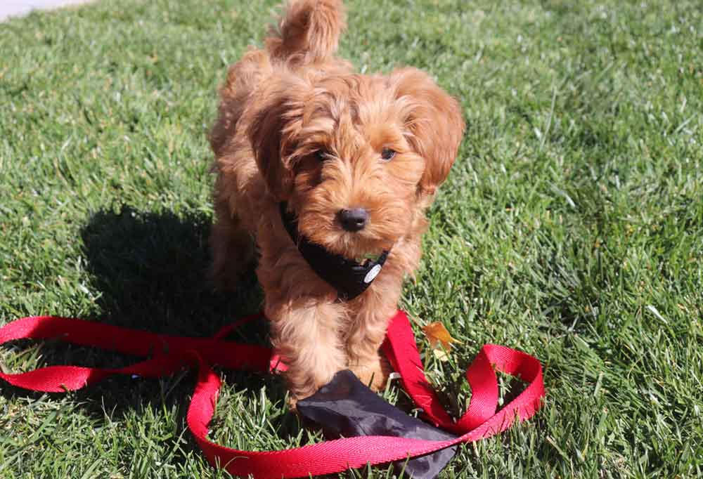 Mini Goldendoodle puppy with a red leash standing in grass