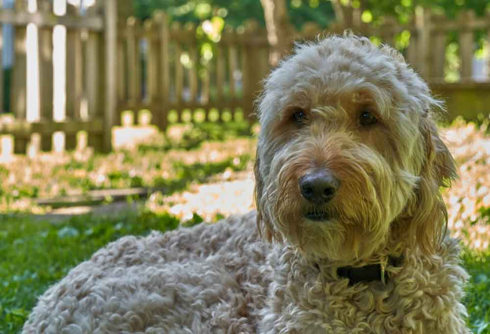 Goldendoodle laying in grass outdoors in a garden