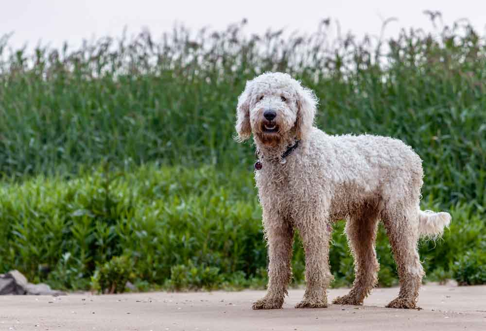 Goldendoodle standing in sand near sea oats