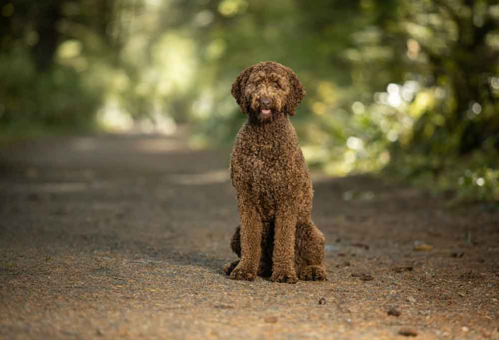 Labradoodle sitting on a dirt road covered by trees