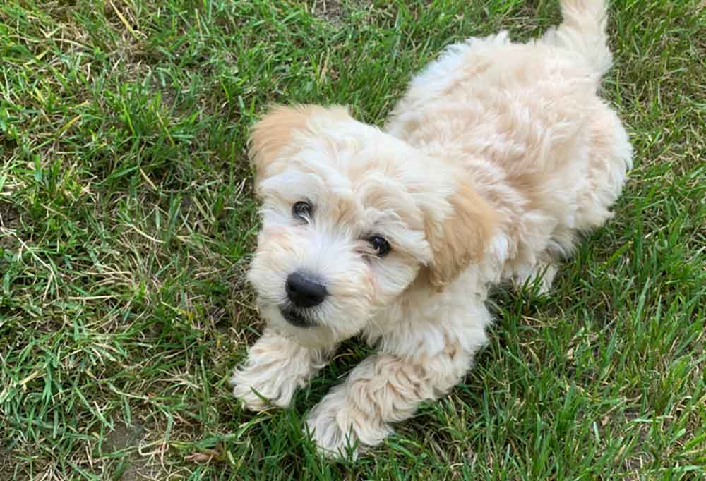 Mini Goldendoodle puppy looking up at camera while laying in grass