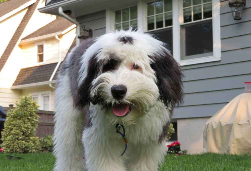 Sheepadoodle standing in a yard with a grey house in the background.
