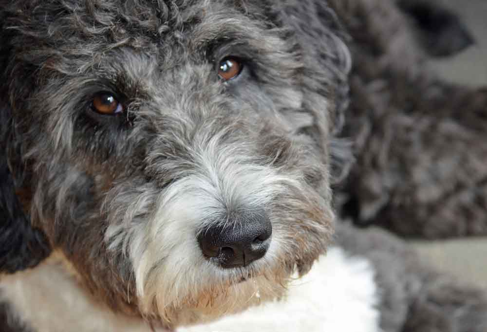 Close up of an Aussiedoodle with its head laying down