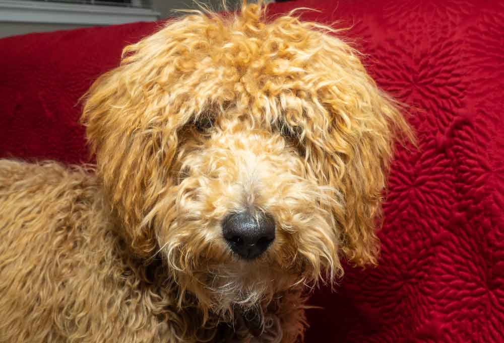 Close up of an Australian Labradoodle in front of a red background