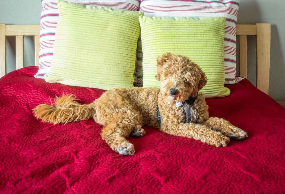 Australian Labradoodle laying on a bed covered in a red blanket