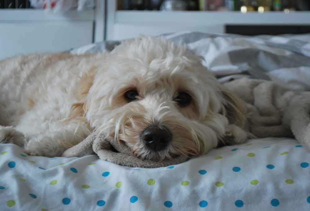 Mini Golden doodle laying on polka dot sheets