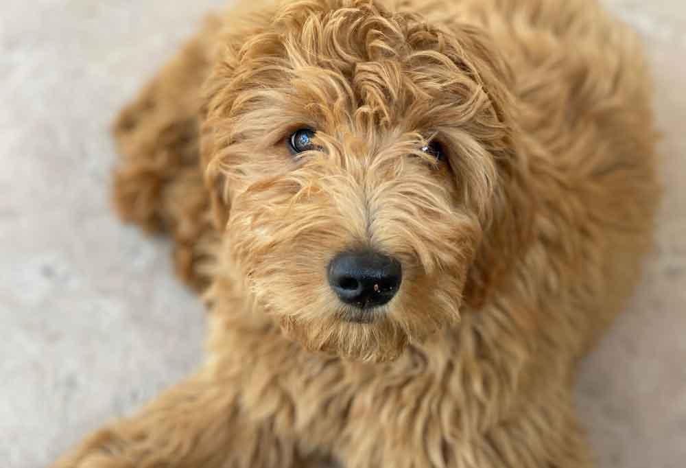 Close up portrait of a Goldendoodle